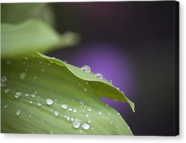 Drops Canvas Print by Thomas Glover
