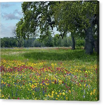 Phlox Canvas Print - Drummond's Phlox, Coreopsis, Texas by Tim Fitzharris