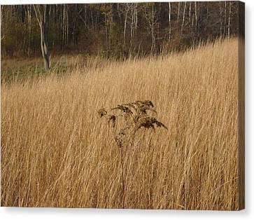 Dry Grass Canvas Print by David Fiske