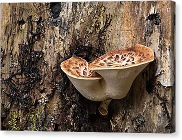 Dryad Saddle Shelf Mushroom Canvas Print by Dale Kincaid