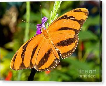 Dryadula Butterfly Dryadula Phaetusa Canvas Print by Millard H. Sharp