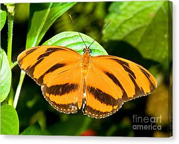 Dryadula Butterfly Canvas Print by Millard H. Sharp