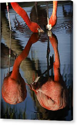 Dual Flamingo Reflections Canvas Print by Dave Dilli