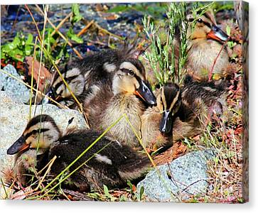 Duck Dynasty Ducklings Canvas Print by Tap On Photo