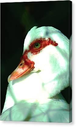Duck Canvas Print by Jennifer Burley