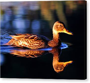 Duck On A River With Refletion Canvas Print by Todd Soderstrom