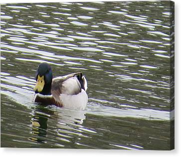 Duck Out For A Swim Canvas Print by Aaron Martens