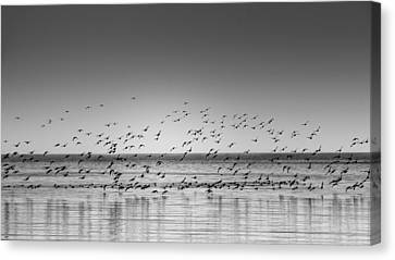 Duck Over Lake 1 B_w Canvas Print by Peter Scott
