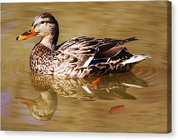 Duck Reflection Canvas Print by Paulette Thomas