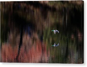Duck Scape 3 Canvas Print