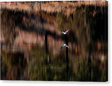 Duck Scape Canvas Print