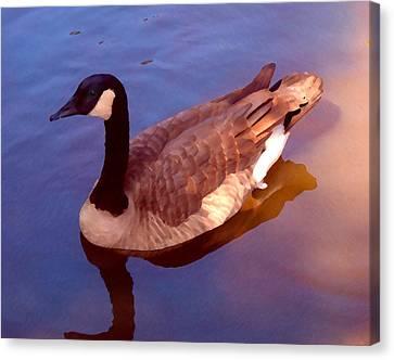 Duck Swimming Canvas Print by Amy Vangsgard