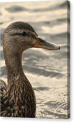 Duck Up Close Canvas Print