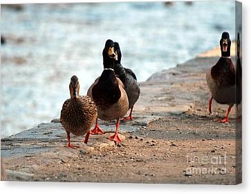 Duck Walk Canvas Print