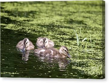 Duckies Three Canvas Print by Sharon Talson