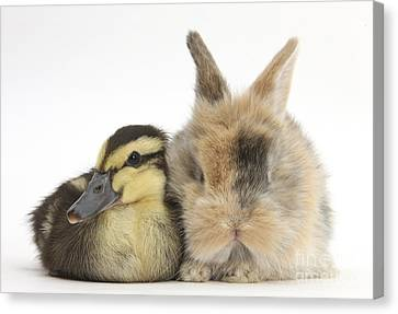 Duckling And Baby Bunny Canvas Print