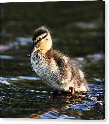 Duckling Canvas Print by Grant Glendinning