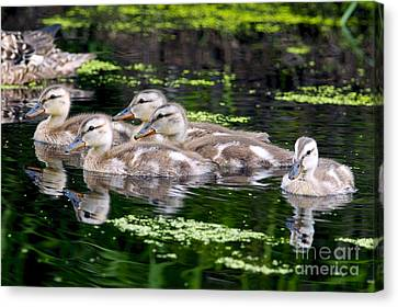 Ducklings Five Canvas Print