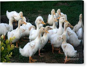 Ducklings In Clay Center Kansas Canvas Print by PainterArtist FIN