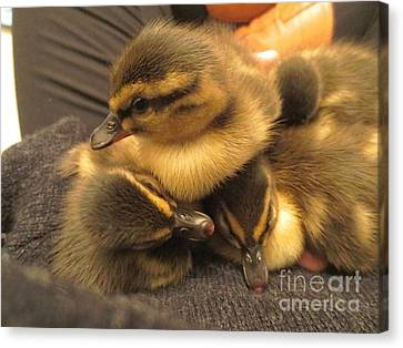 Ducklings  Canvas Print by Vicky Tarcau