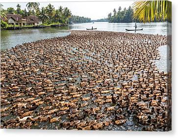 Ducks Being Herded Along The Waterway Canvas Print by Peter Adams