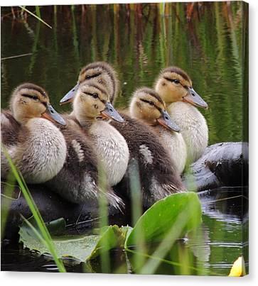 Ducks In A Row Canvas Print by Karen Horn