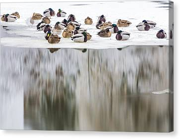 Ducks On The Red Cedar River  Canvas Print by John McGraw
