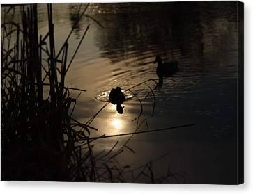 Ducks On The River At Dusk Canvas Print by Samantha Morris
