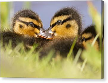 Ducktwins Canvas Print by Roeselien Raimond