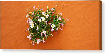 Dune Evening Primrose Flowers In Sand Canvas Print by Panoramic Images