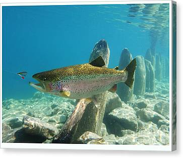 Duped By Wet Fly Canvas Print by Paul Buggia