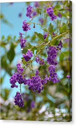 Canvas Print featuring the photograph Duranta- Fresh Morning by Darla Wood