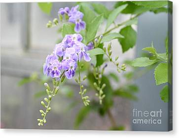 Duranta Canvas Print by Rosemary Aubut