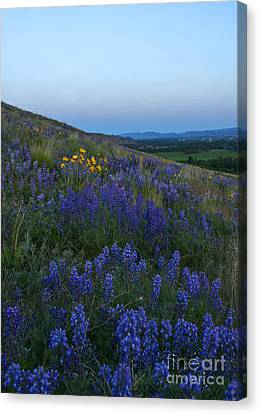 Dusk Over Lupine Canvas Print by Mike  Dawson