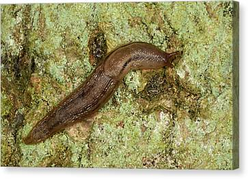 Slug Canvas Print - Dusky Arion Slug by Nigel Downer