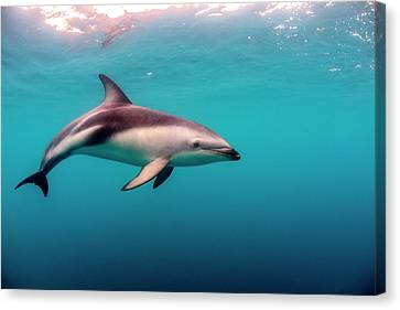 New Individuals Canvas Print - Dusky Dolphin (lagenorhynchus Obscurus by James White