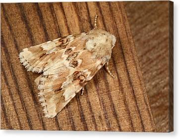 Dusky Sallow Moth Canvas Print