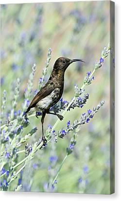 Dusky Sunbird Canvas Print