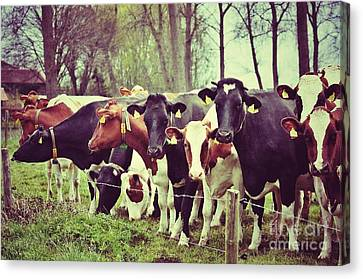 Canvas Print featuring the photograph Dutch Cows by Nick  Biemans