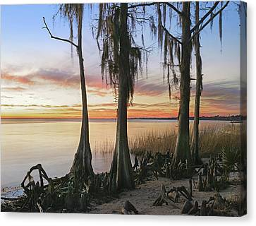 Bromeliad Canvas Print - Dwarf Cypress Trees Covered by Tim Fitzharris