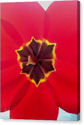 Dying Tulip Canvas Print