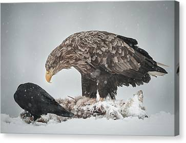 Eagle And Raven Canvas Print by Andy Astbury