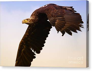 Canvas Print featuring the photograph Eagle In Flight by Nick  Biemans