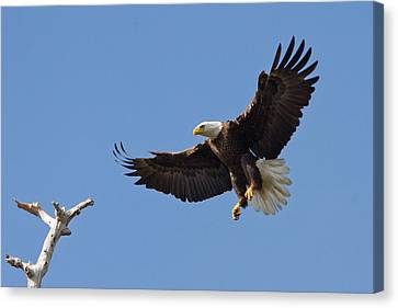 Canvas Print featuring the photograph Eagle Landing 2 by Phil Stone