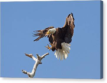 Canvas Print featuring the photograph Eagle Landing At Bayonne Preserve by Phil Stone