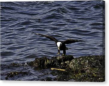 Canvas Print featuring the photograph Eagle Landing. by Timothy Latta