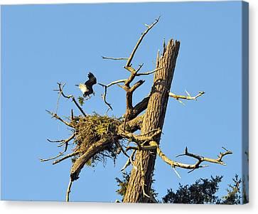 Eagle Making A Nest Canvas Print