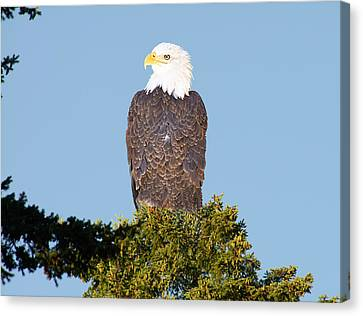 Eagle On A Branch Canvas Print by George Cousins