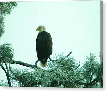Eagle On A Frozen Pine Canvas Print