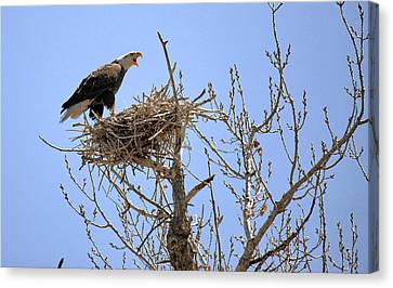 Eagle On Blue Harring Nest Colorado.  Canvas Print by James Steele